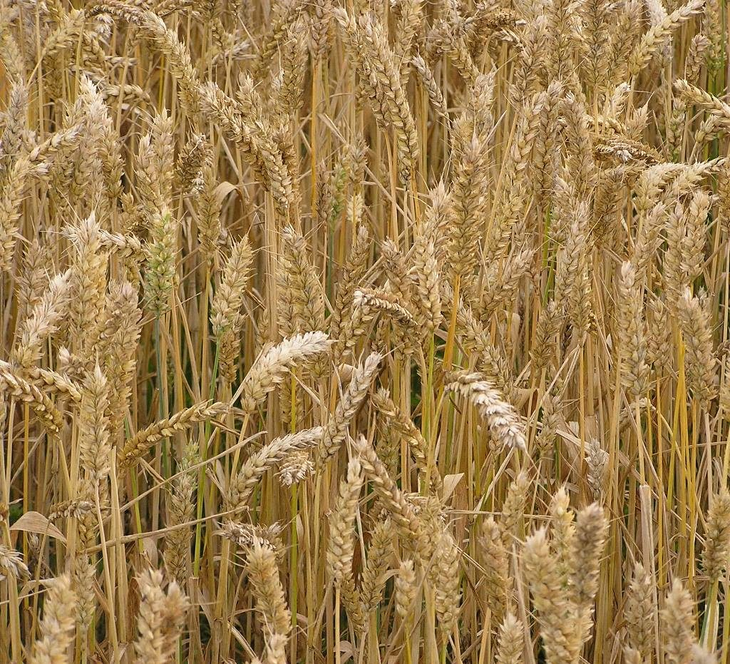 Ripening wheat crop - a close up photo graph showing wheat stalks and ears