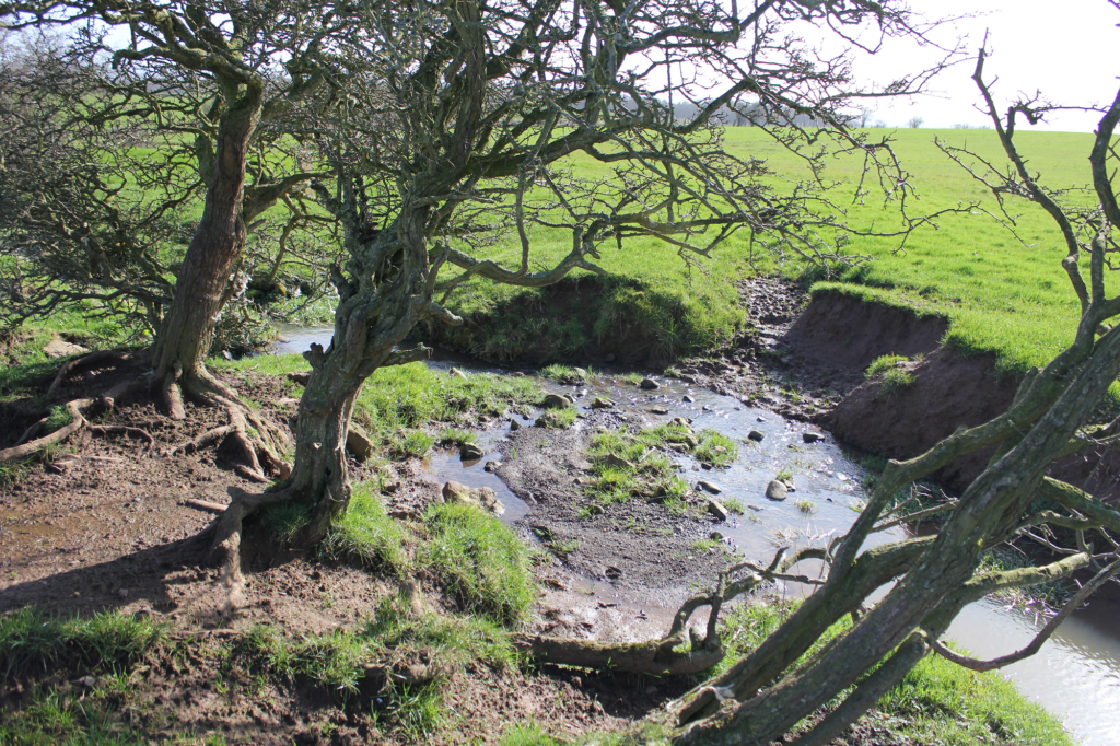 watercourse with bank erosion and overgrown thorn trees overhanging it.