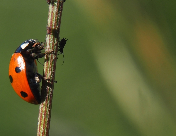 A ladybird climbing a vertical stem, eating and aphid that is one of many on the stem.