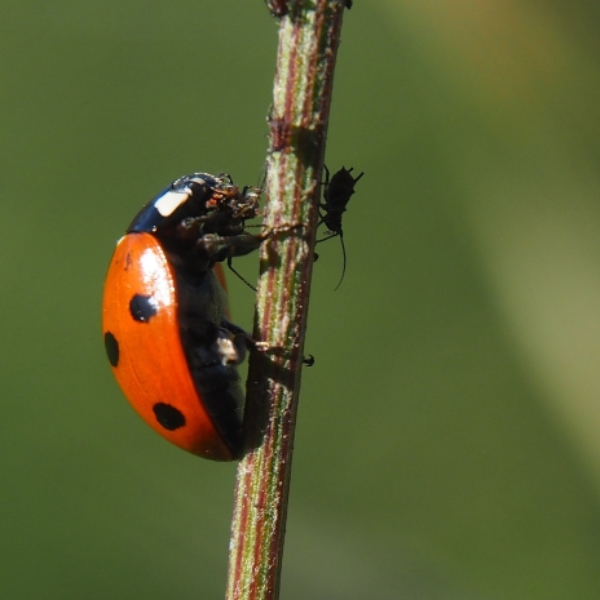 A-ladybird-climbing-a-vertical-stem-eating-and-aphid-that-is-one-of-many-on-the-stem
