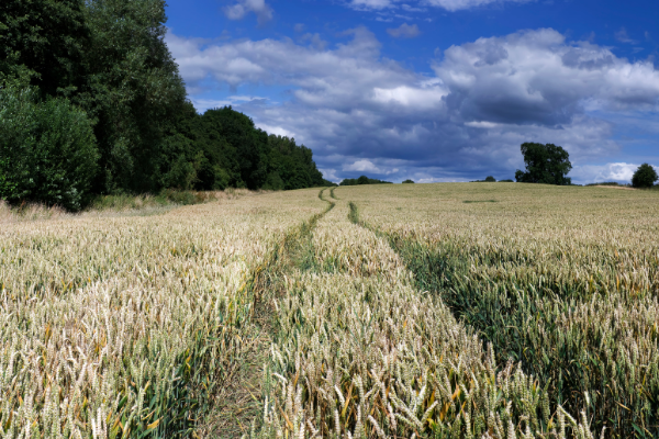 Crop of wheat that is just beginning to ripen. There are tramlines in the middle of the photo leading the eye from the foreground towards a bright blue sky on the horizon.