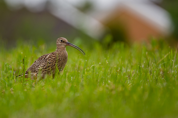 A Curlew standing in short grass following a rain shower; the grass has small droplets of water on it.