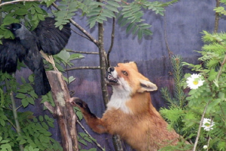 Fox reaching to catch a carrion crow in a woodland area