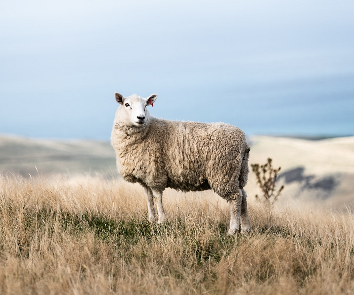 A sheep standing on a hill landscape with the sea in the background