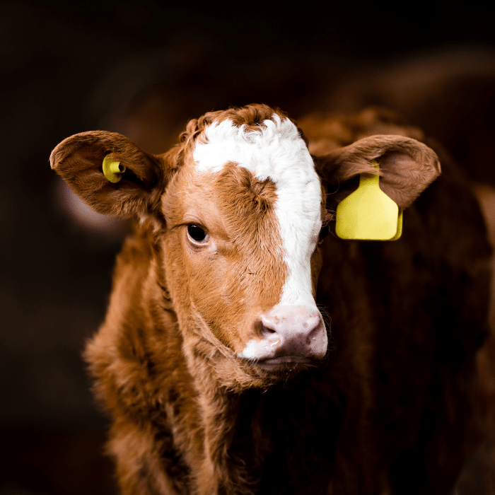 A red and white calf with a yellow ear tag looking directly at the screen.