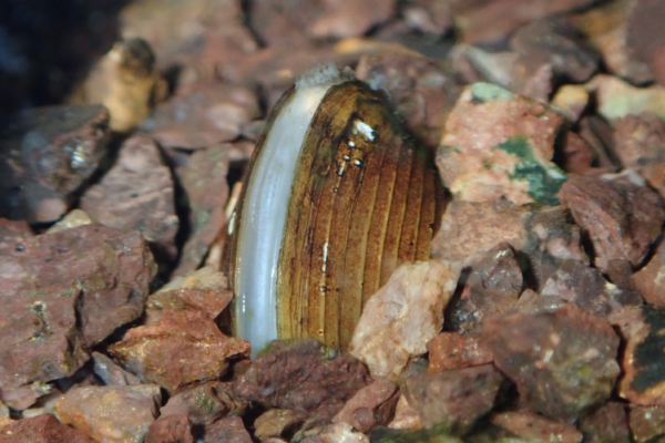 A freshwater pearl mussel nestled within some gravel in a riverbed.